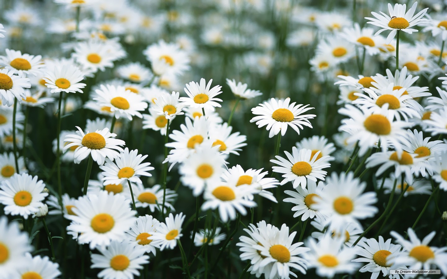 White Daisy Wallpaper   Colors Wallpaper 34692080 1440x900