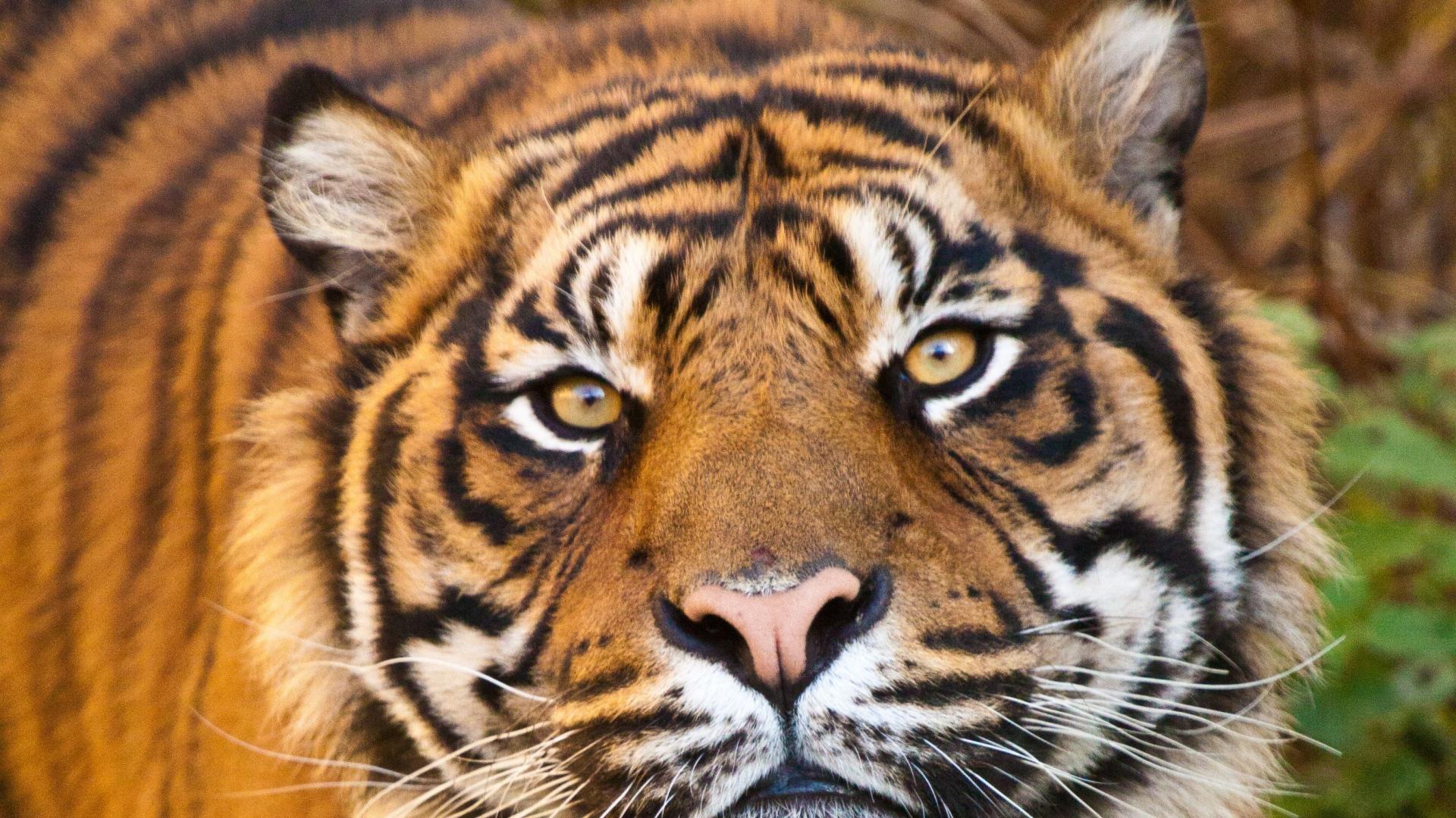 1920X1080 Tiger Wallpaper Full HD
