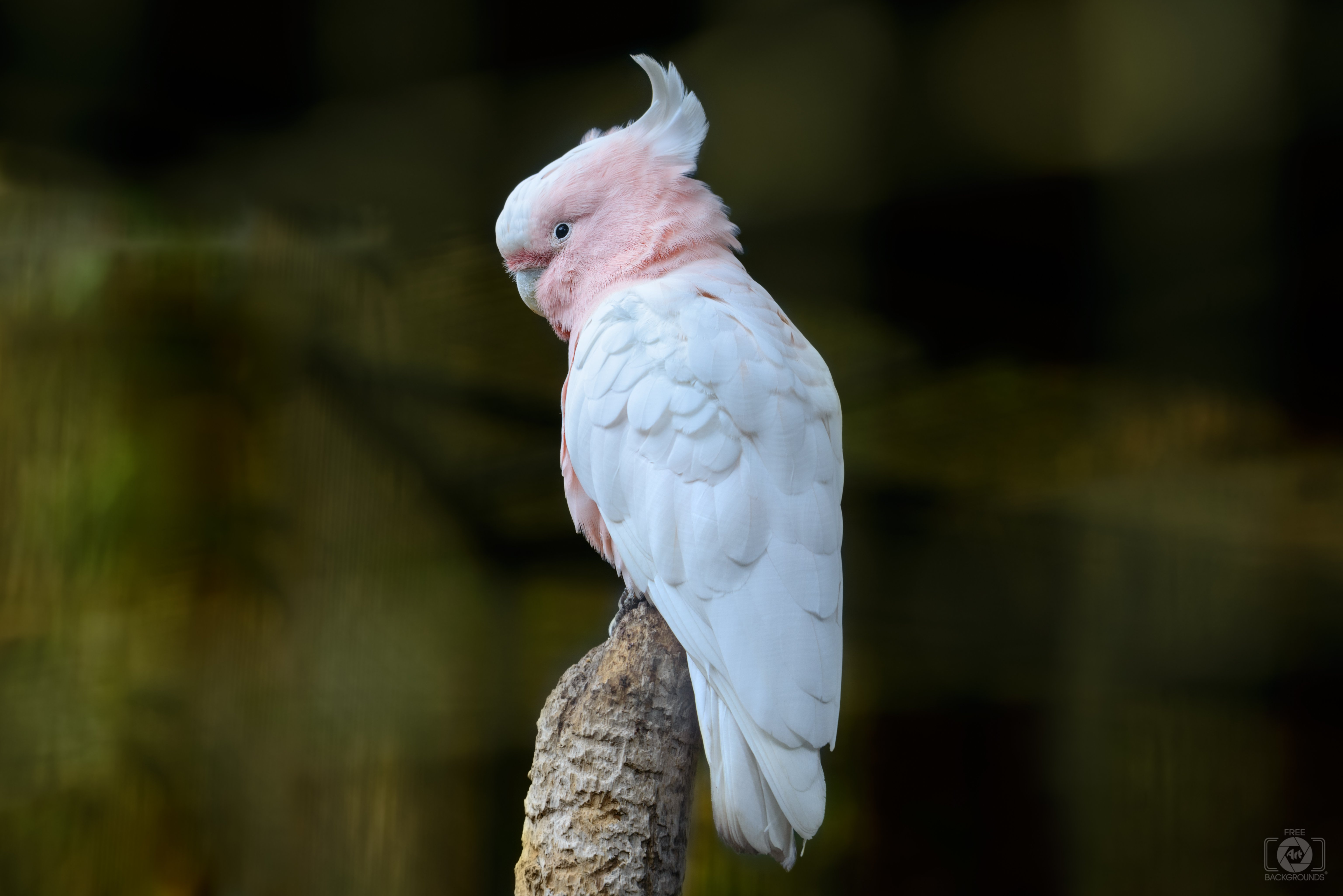 Pink Cockatoo Parrot Background   High quality Backgrounds 6145x4101