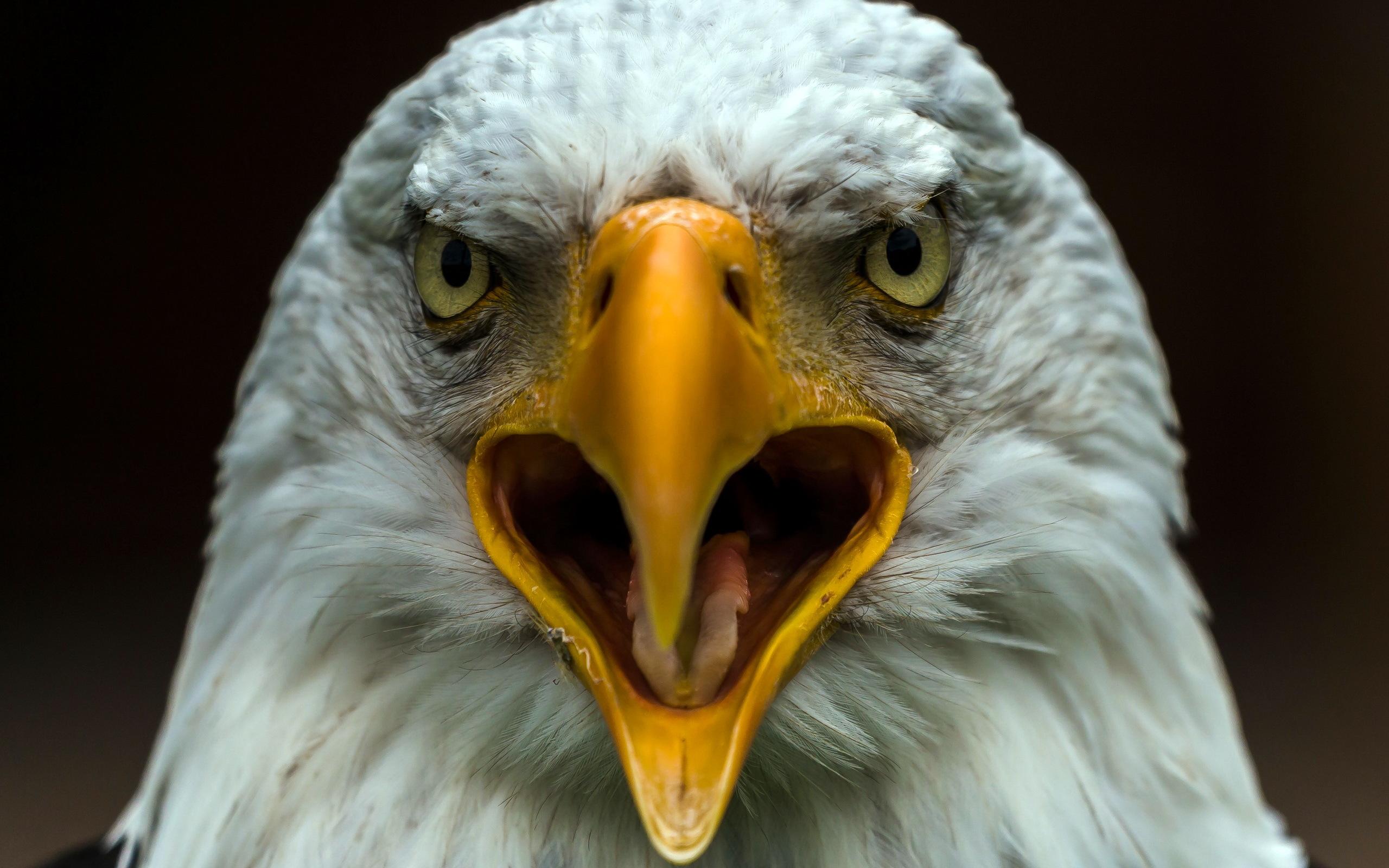 66+ Bald Eagle Desktop Wallpaper on WallpaperSafari