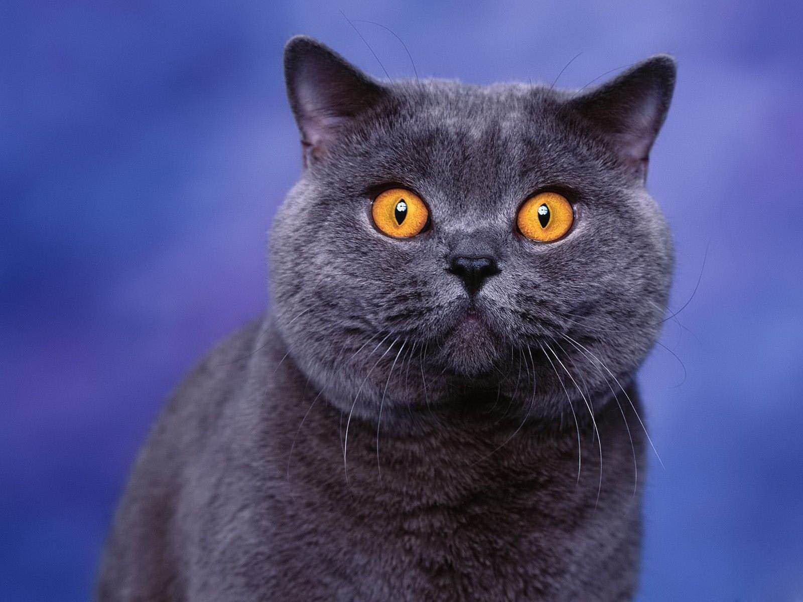 wallpapers Yellow Eyes cat Wallpapers 1600x1200