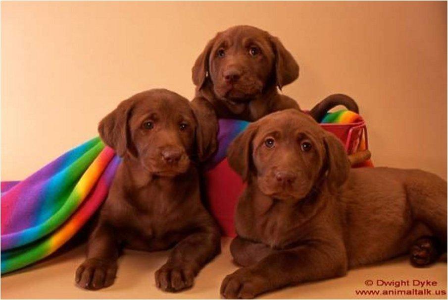 Labrador Retriever Chocolate Labs 905x605