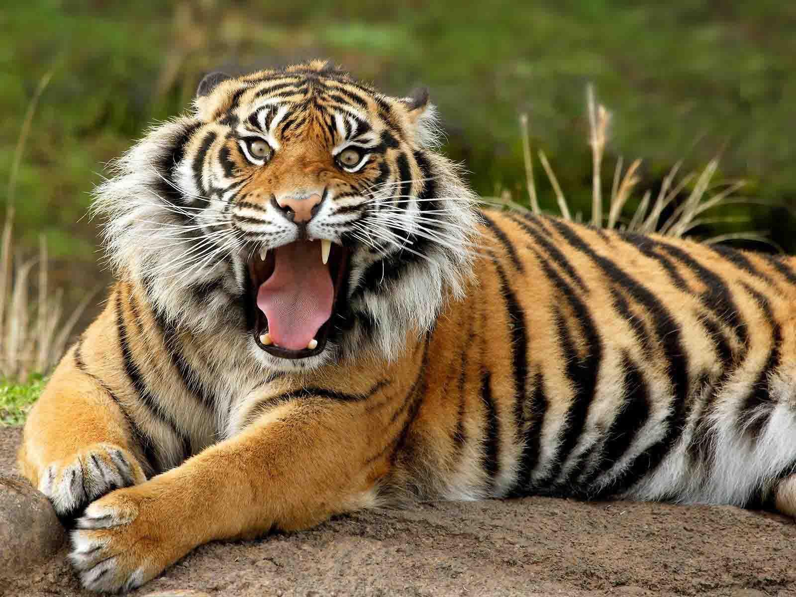 Tiger Wallpaper Free Download Wallpapersafari