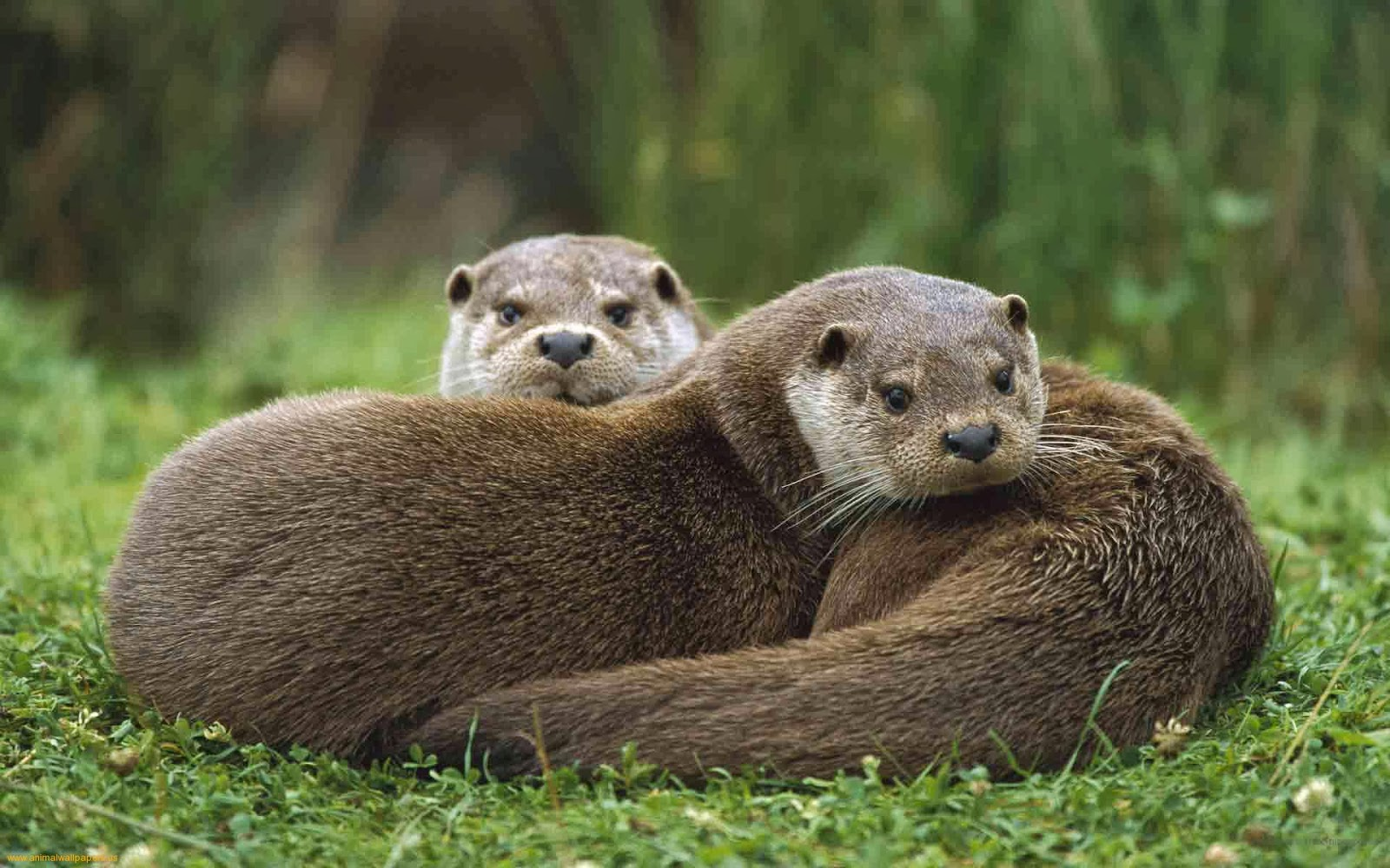 To end on a cute note watch this man cuddle with two otters here 1600x1000
