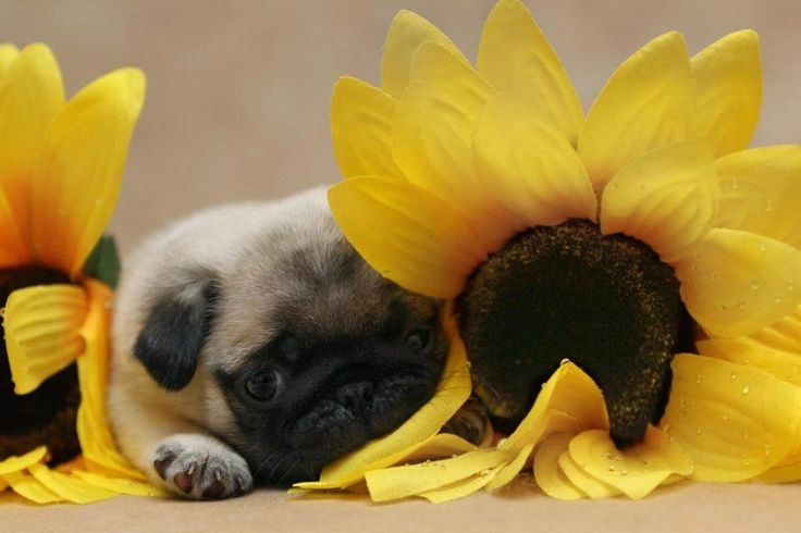 Pug Iphone Wallpaper: Cute Pug Puppy Wallpaper