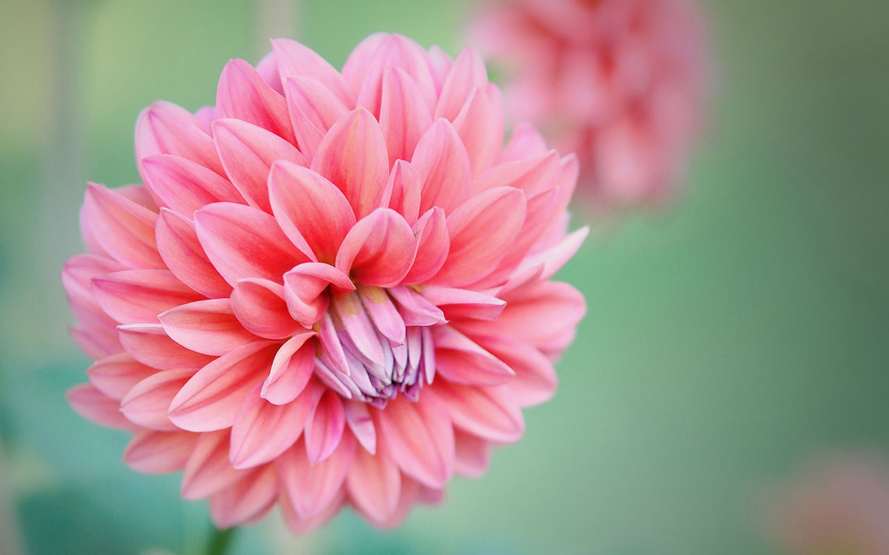 Charming feminine pink Flowers HD Wallpaper 10 Flower Wallpapers 1280x800