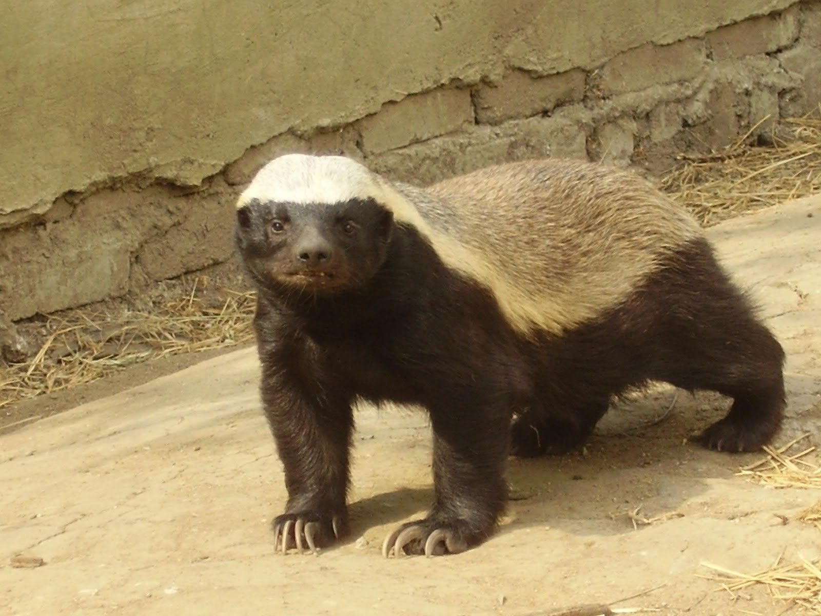 Honey badgers are mammals Honey badgers have claws Honey badgers 1600x1200