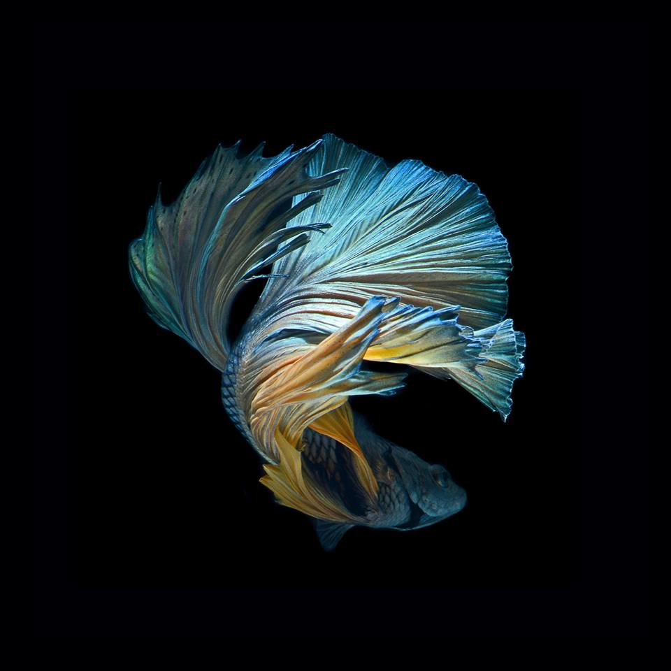 Image gallery iphone 6s beta fish for Betta fish live wallpaper
