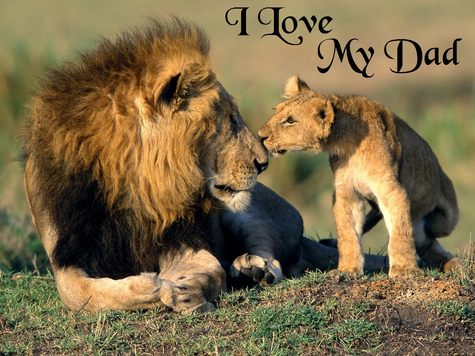 To download click on I Love My Dad Fathers Day Lion Wallpaper then 1600x1200