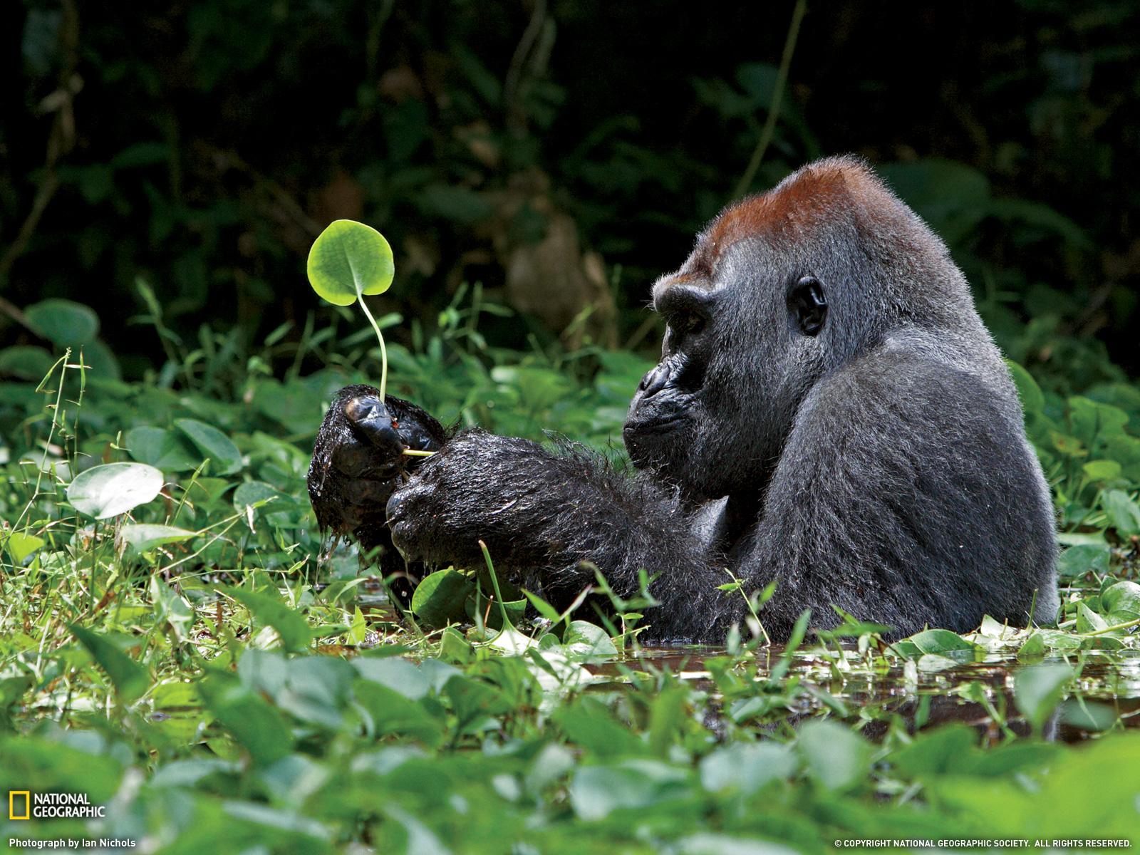 Silverback Gorilla Photo Nature Wallpaper National Geographic 1600x1200