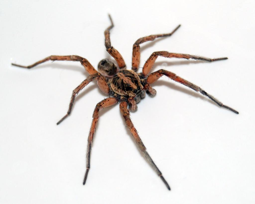 45 scary spider wallpaper on wallpapersafari - Moving spider desktop ...