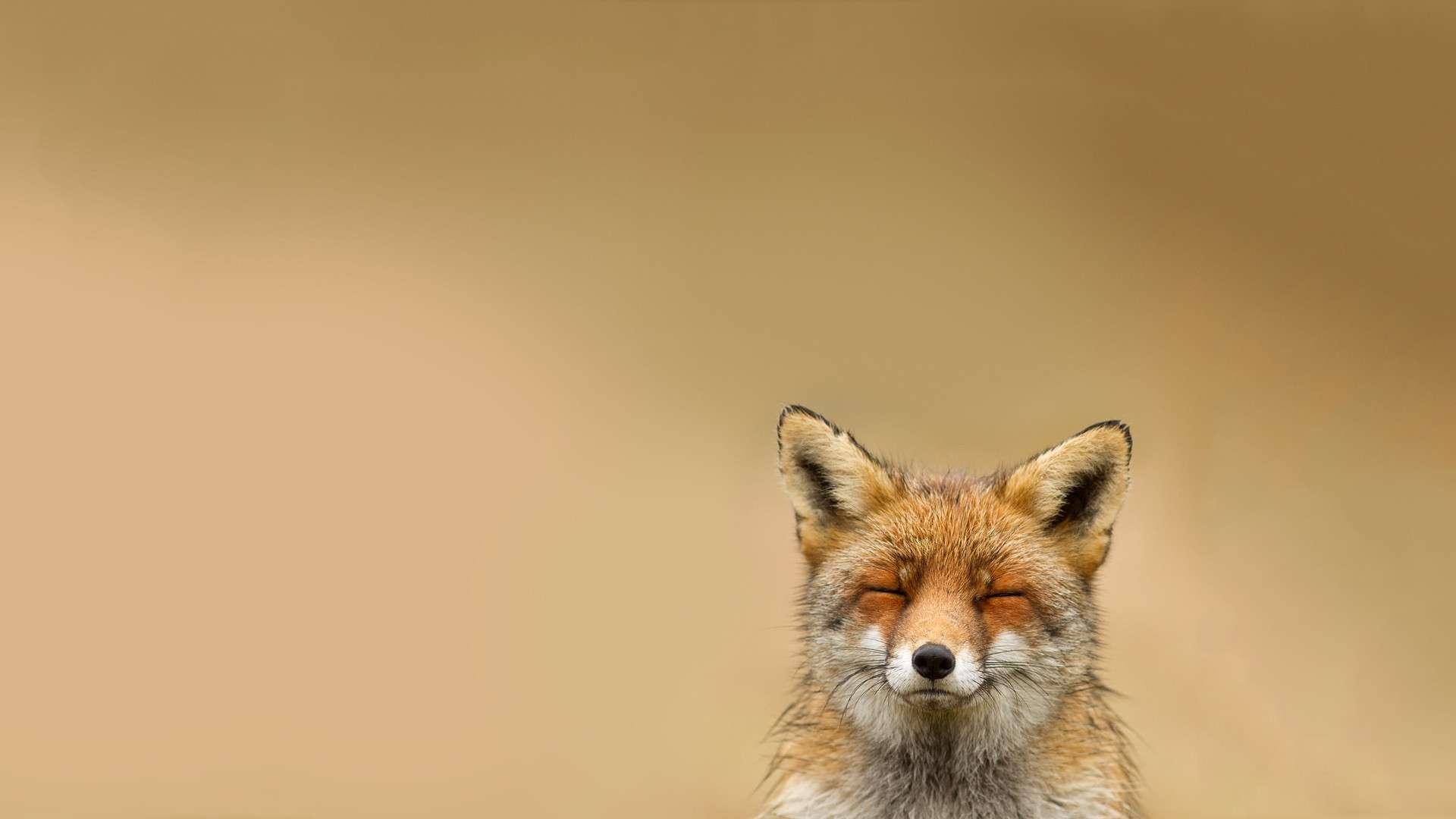 Happy Fox HD Wallpaper FullHDWpp   Full HD Wallpapers 1920x1080 1920x1080
