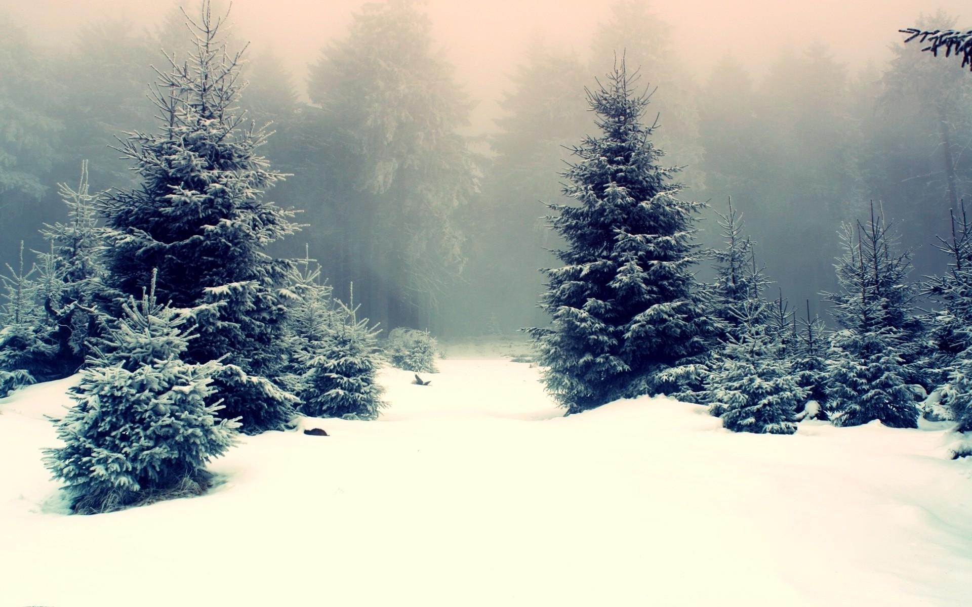 Snowy fir trees wallpaper 15631 1920x1200