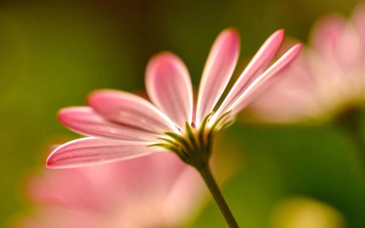 Charming feminine pink Flowers HD Wallpaper 3 Flower Wallpapers 1280x800