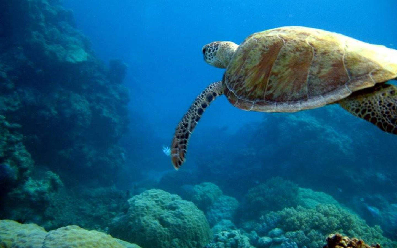 Animals Sea Turtle Wallpaper 1440x900