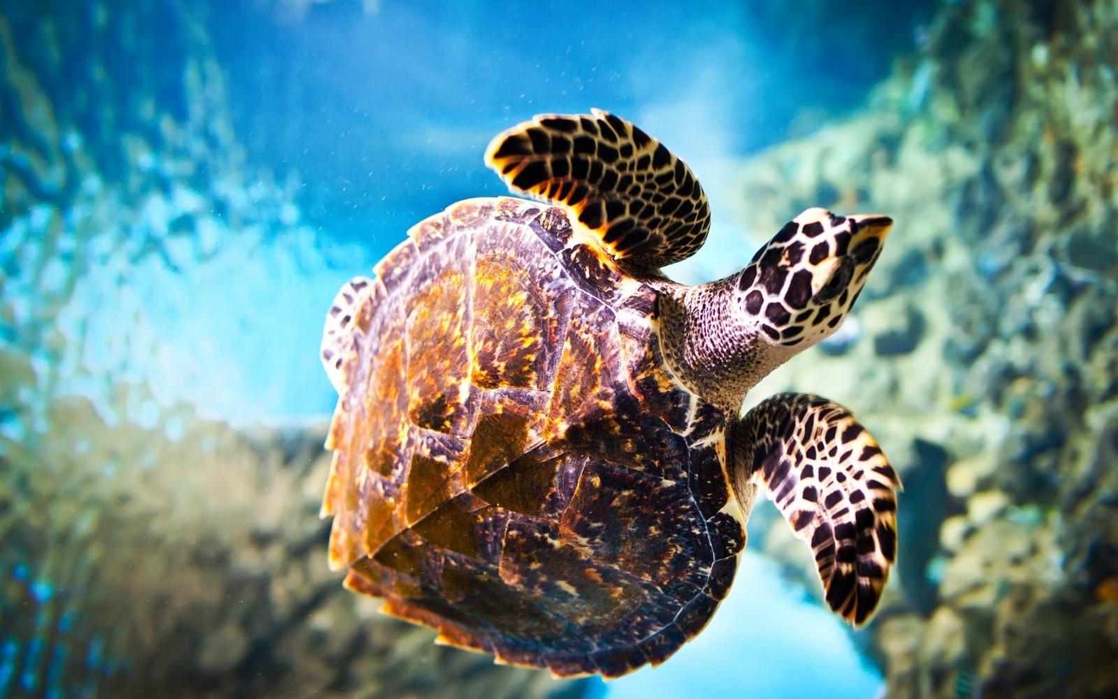 Turtle At Sea Hd Resolution 1600x1200 pixelsuper cool hd wallpapers 1600x1000