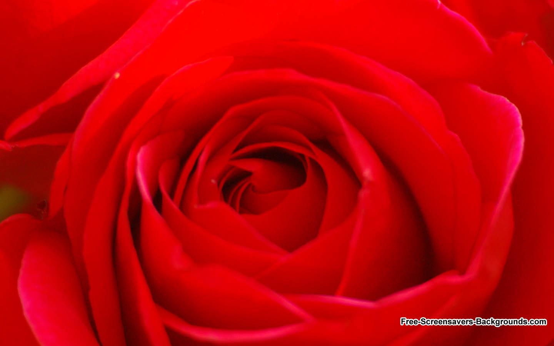 [50+] Free Roses Wallpaper Screensavers on WallpaperSafari