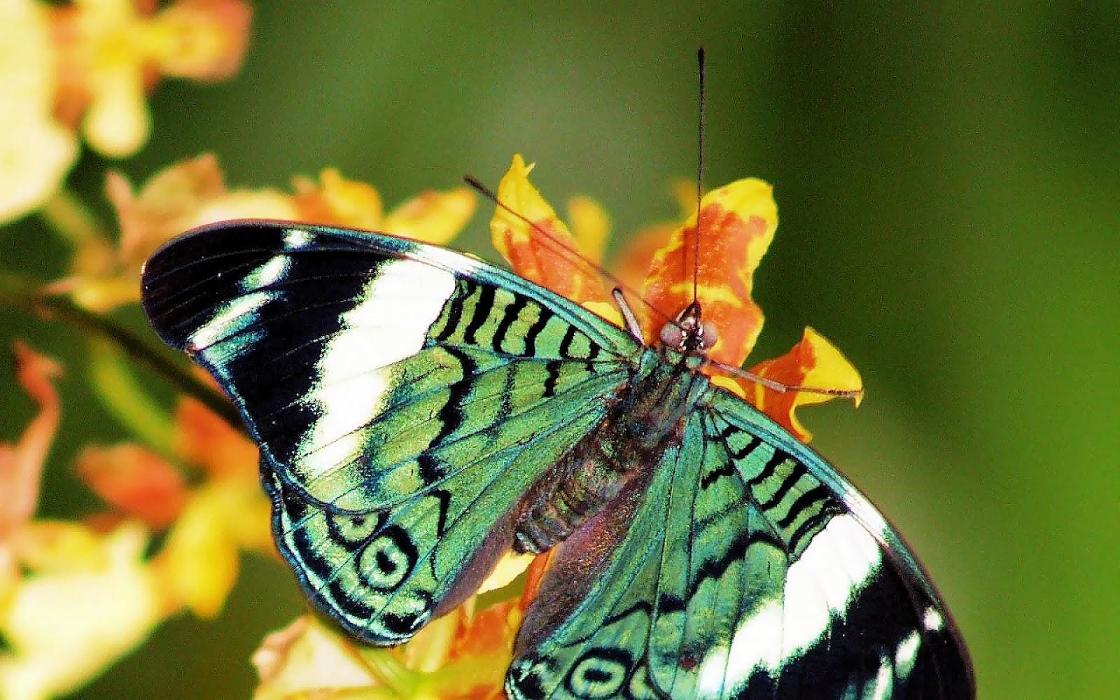 green butterfly sitting on a yellow flower HD butterflies wallpapers 1600x1000