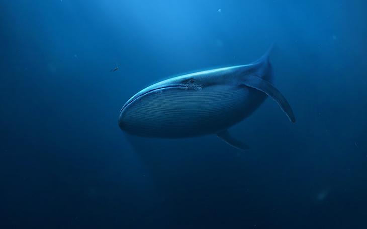 Underwater Whale Deep Blue Sea HD Wallpaper   Download Wallpaper 730x456