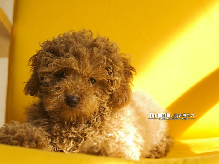 Lovable Toy Poodle Puppy Curly Coat Miniature Poodle Wallpaper 10 700x525