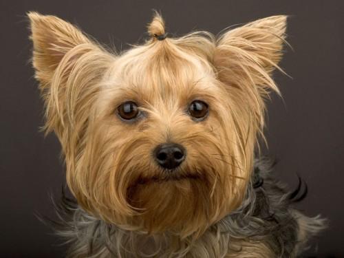 Yorkshire Terrier Screensaver Screensavers   Download Yorkshire 500x375