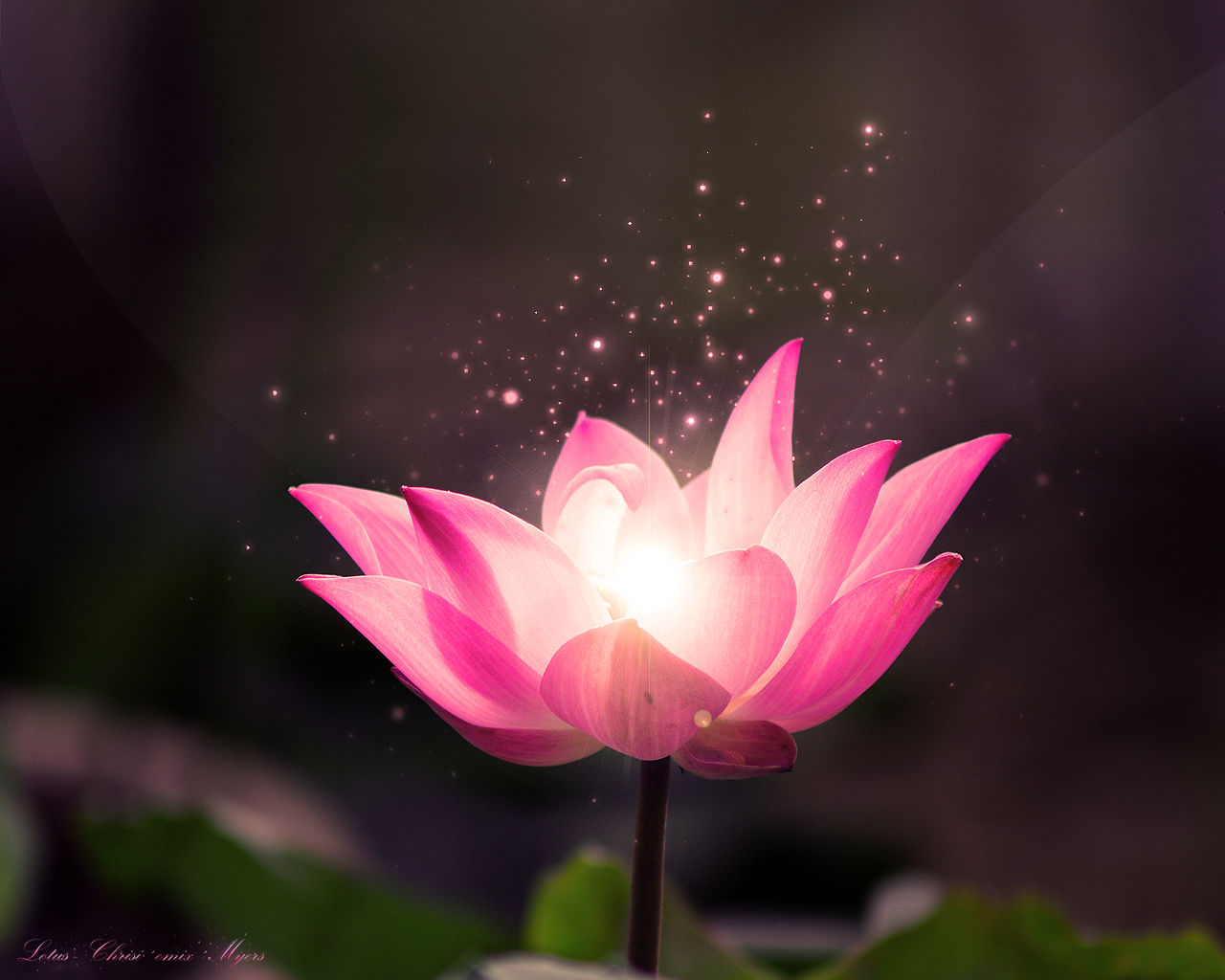 free lotus flower wallpaper lotus dream wallpaper lotus flower hd 1280x1024
