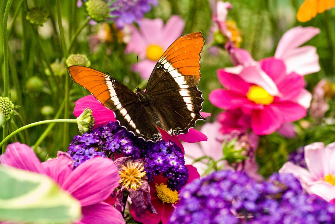 live butterfly wallpaper   beautiful desktop wallpapers 2014 1147x768
