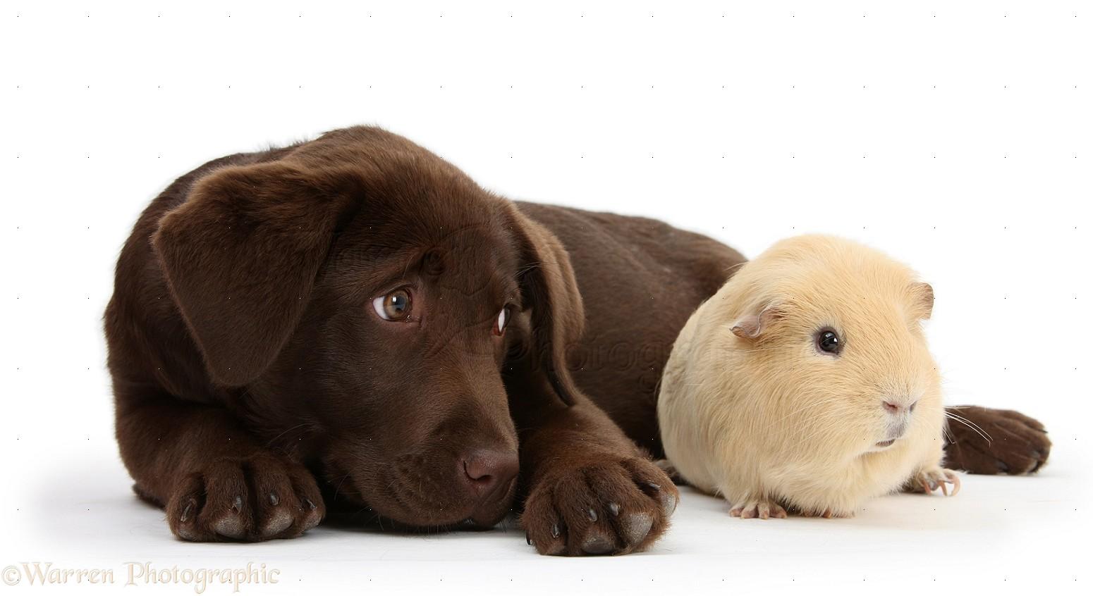 Chocolate Labrador pup and Guinea pig 1550x846
