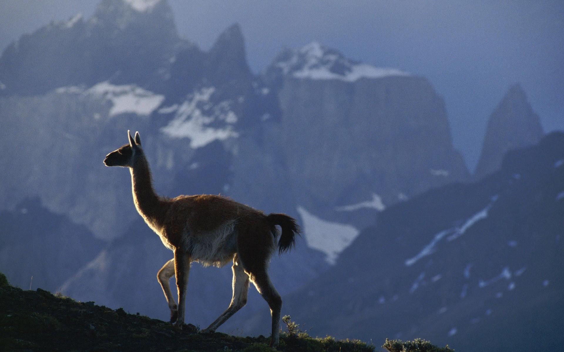 Animals Llama Wallpaper 1920x1200 Animals Llama 1920x1200