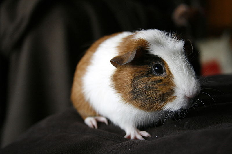 Guinea Pig Pictures Wallpapers   Wallpaper 6 of 8 800x533
