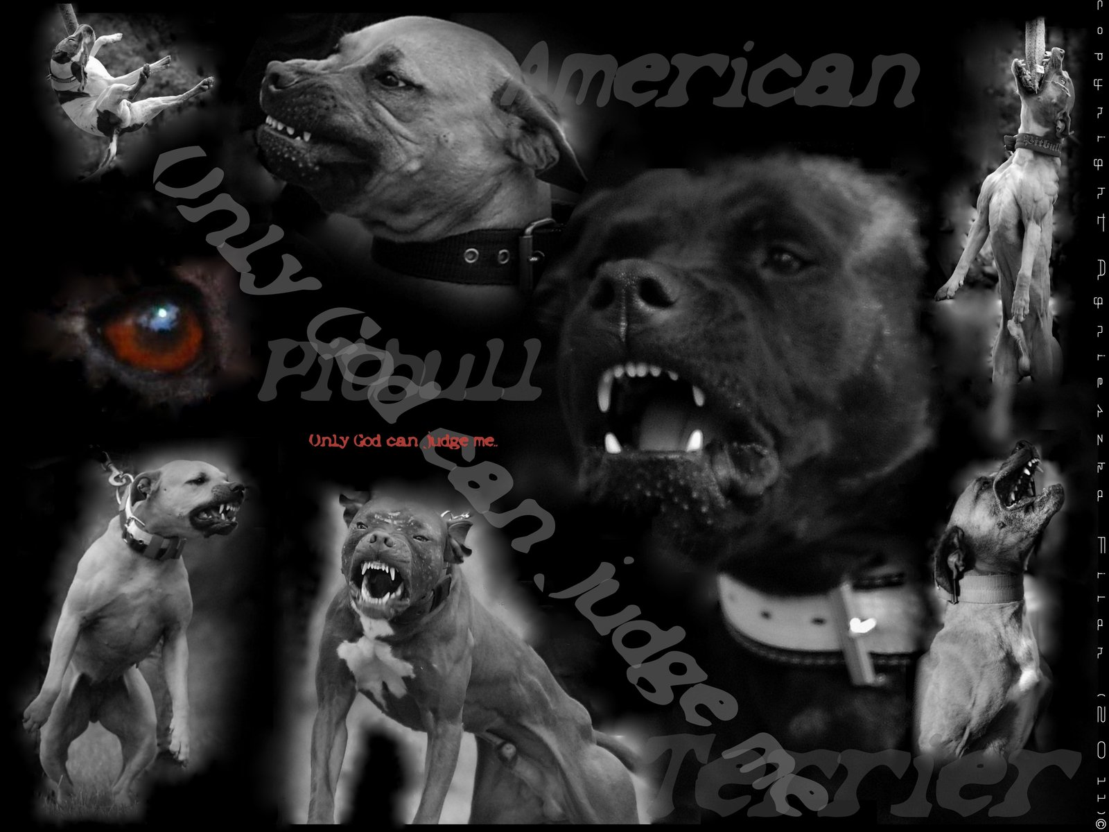 home images pitbull wallpaper by filarska pitbull wallpaper by 1600x1200