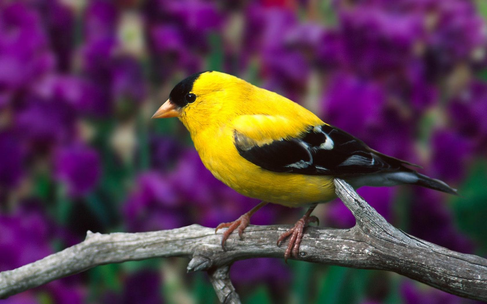 YELLOW BIRD ON TREE BRANCH WALLPAPER   283   HD Wallpapers 1680x1050