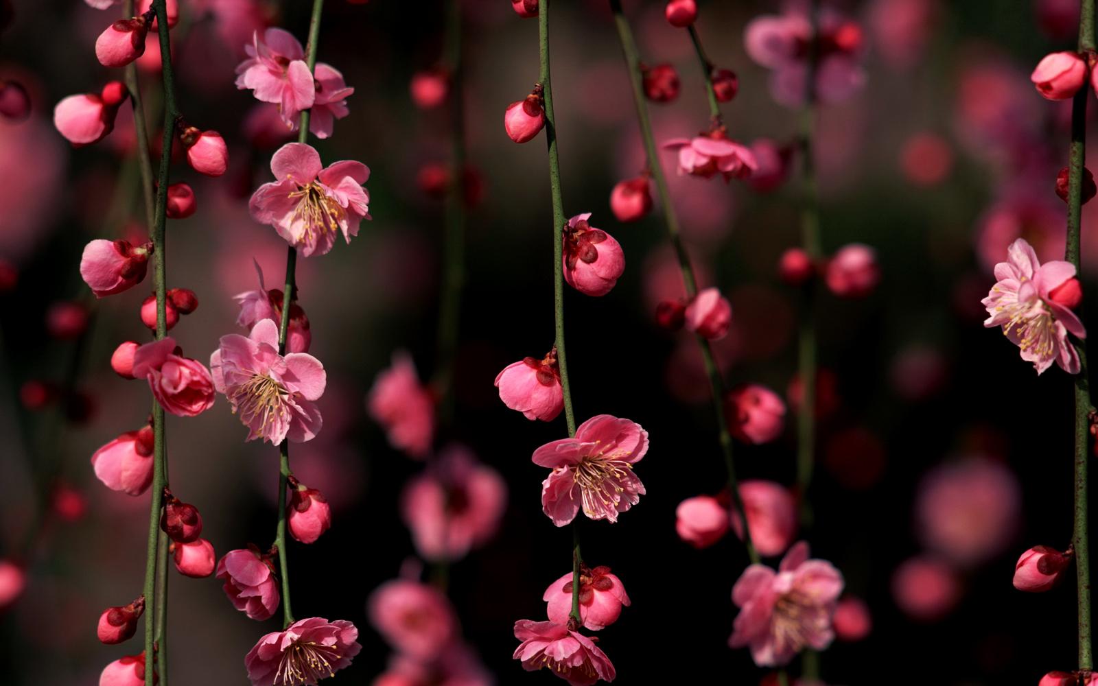 Cherry Blossoms Sakura HD Wallpapers Desktop Wallpapers 1600x1000