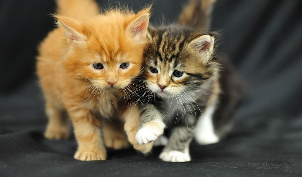 Cat Kittens For Sale Wallpaper Maine Coon Cats Desktop Wallpaper 1024x600