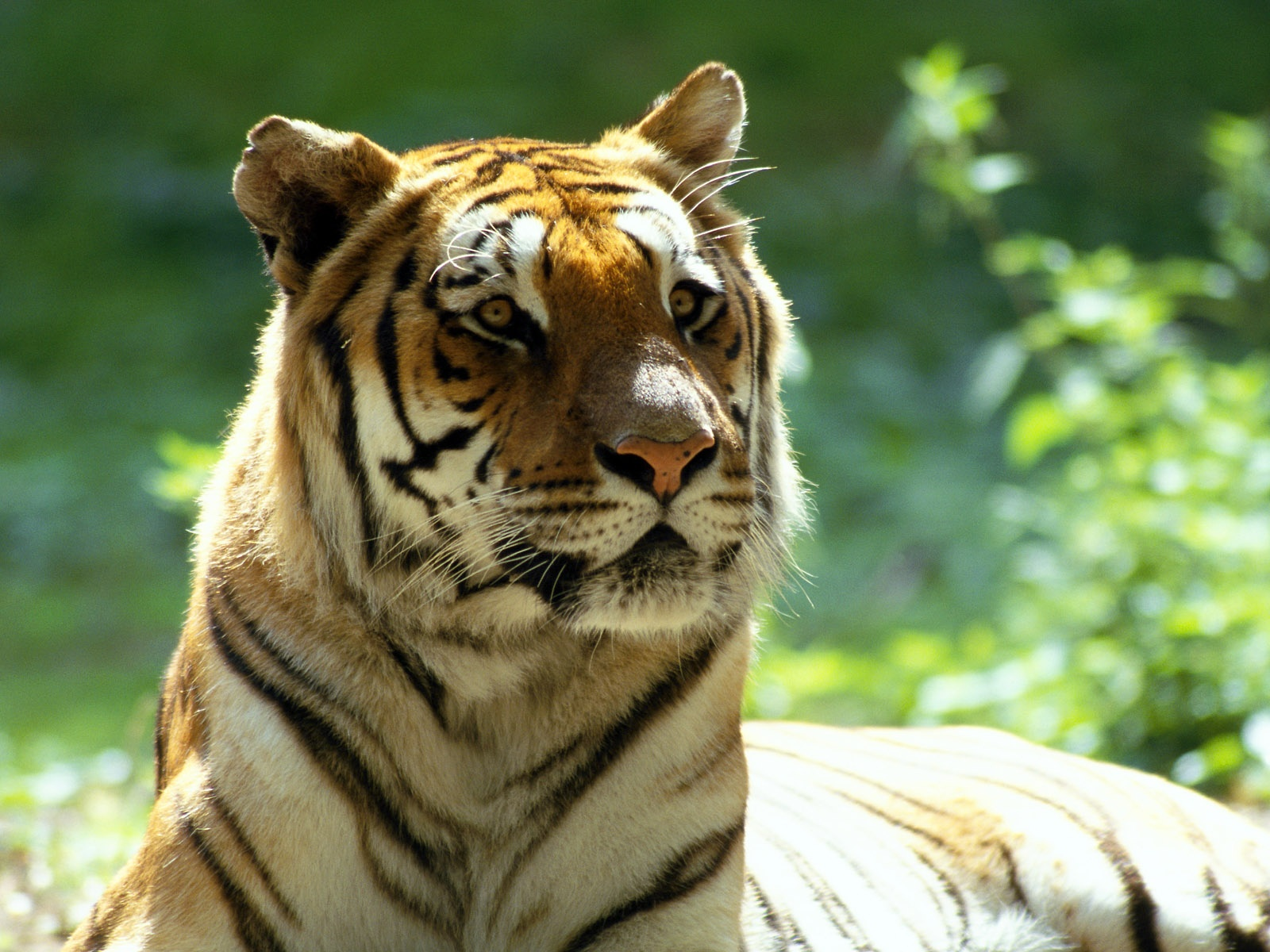 Cool Animal Tiger HD Wallpaper For Desktop for download iPhone 5 4 1600x1200