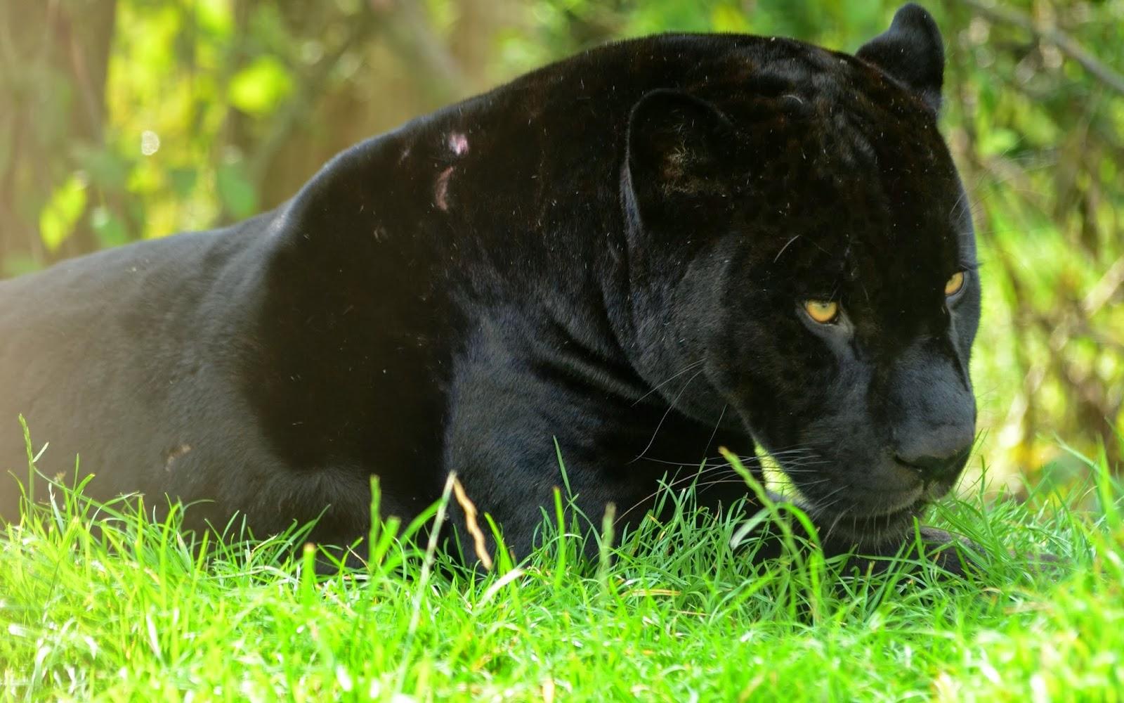 Black Panther HD Wallpapers black panther wild animal wild black 1600x1000