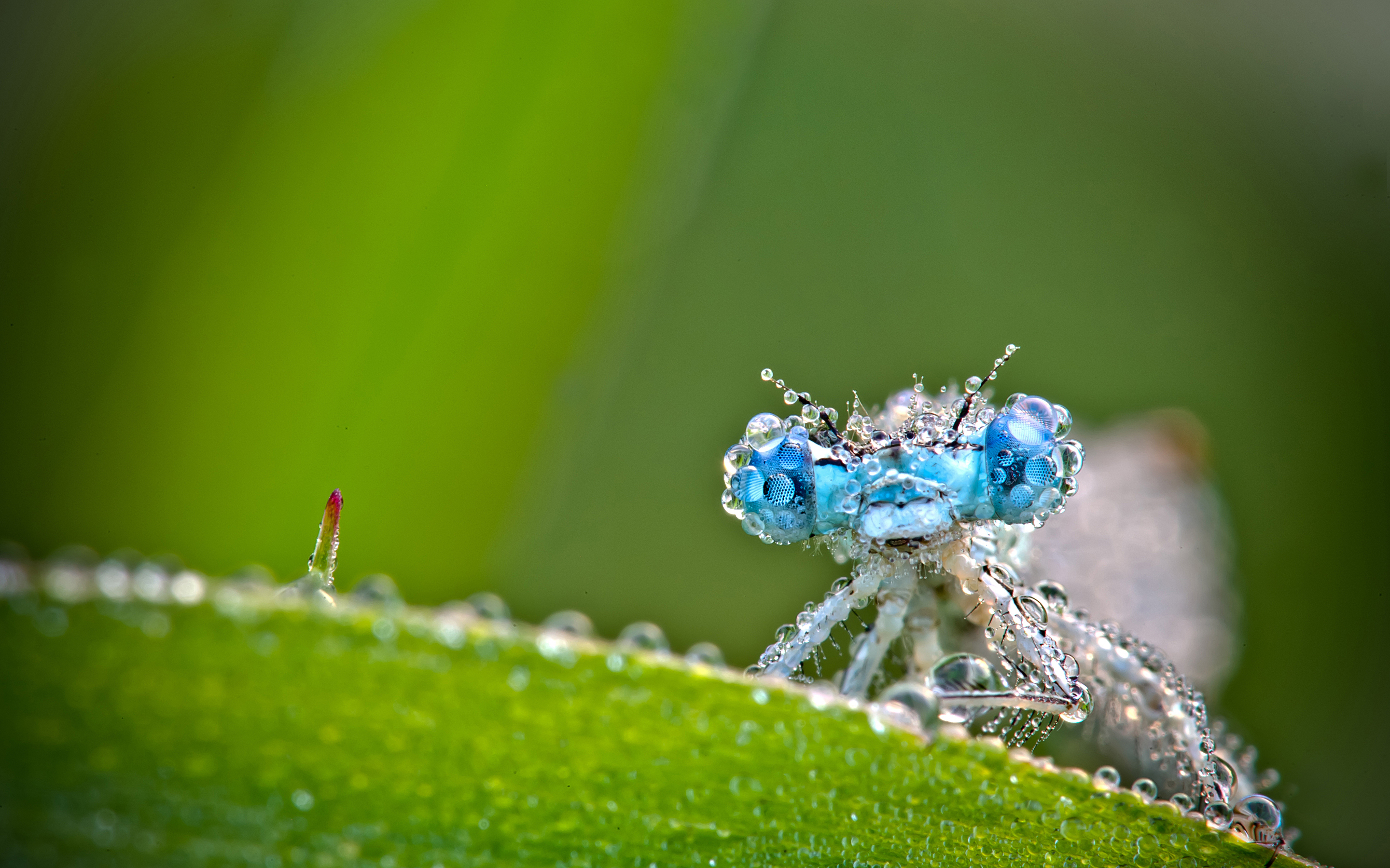 copain lagrion Insect Macro Photography Wallpaper by David Chambon 2880x1800