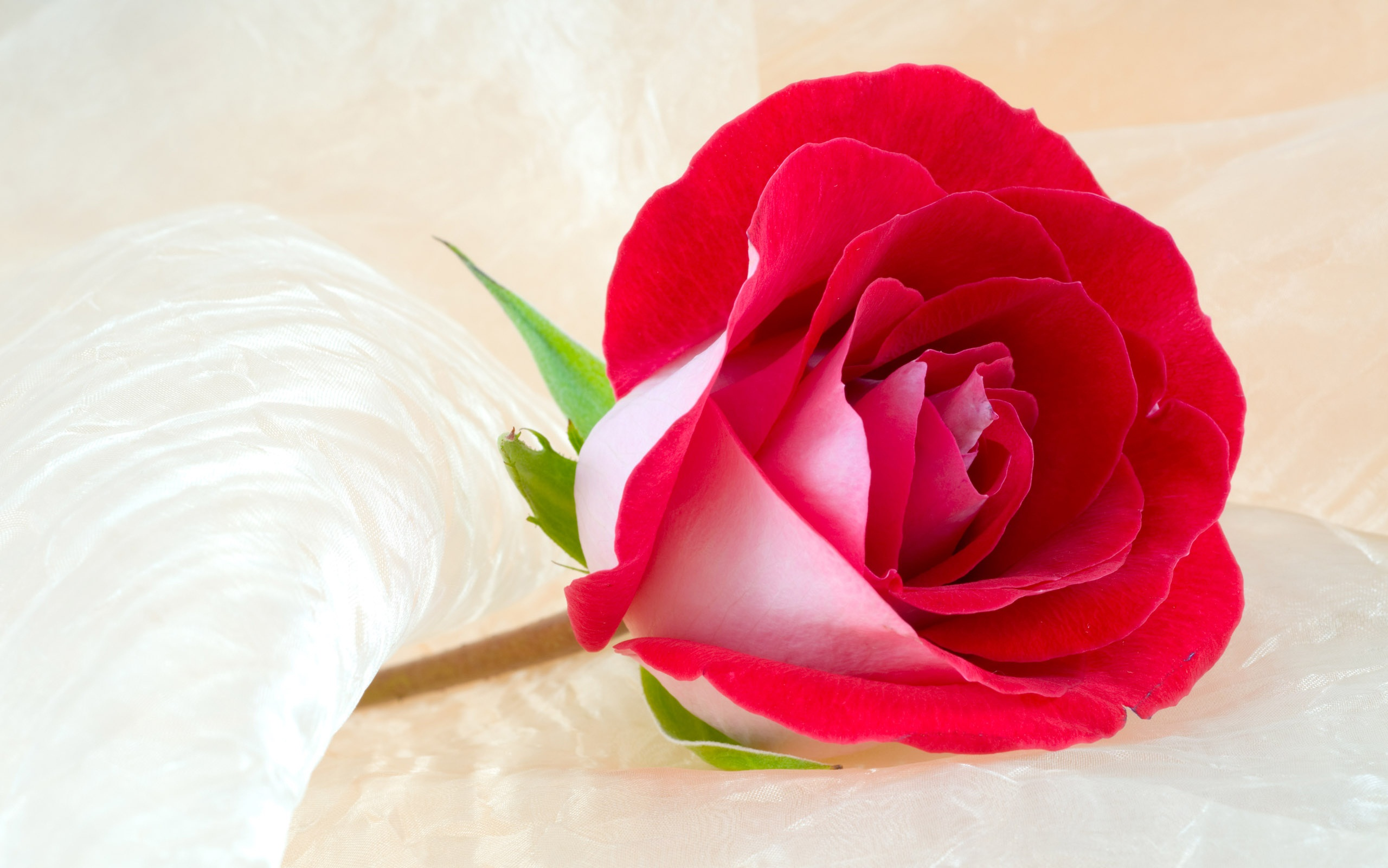 Rose Flower Most Beautiful Widescreen HD HD Wallpapers Rocks 2560x1600