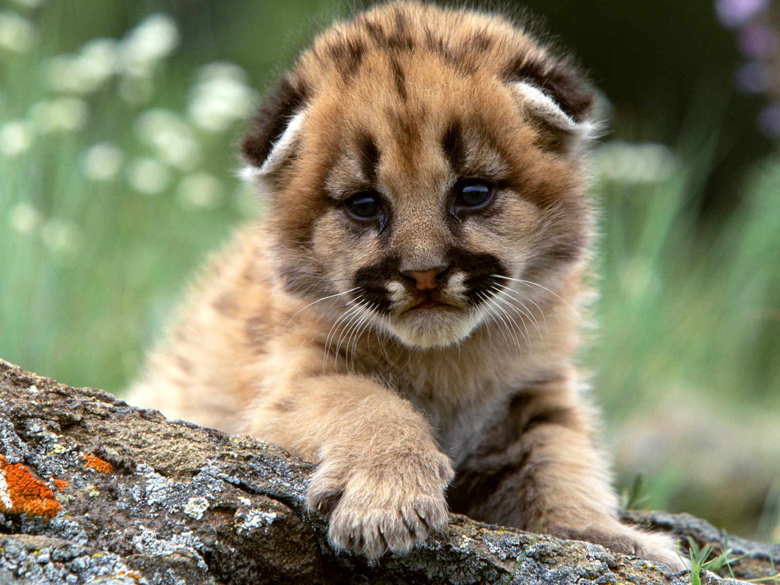 Download Baby Lions wallpaper mountain lion cub 1600x1200