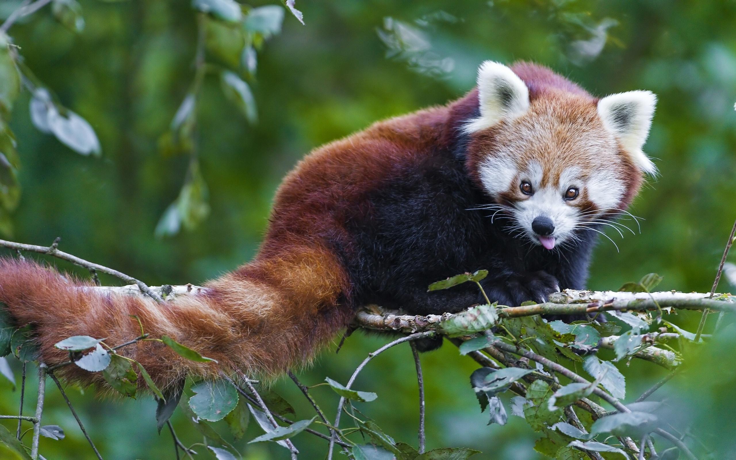 Cute Red Panda wallpaper   ForWallpapercom 2560x1600