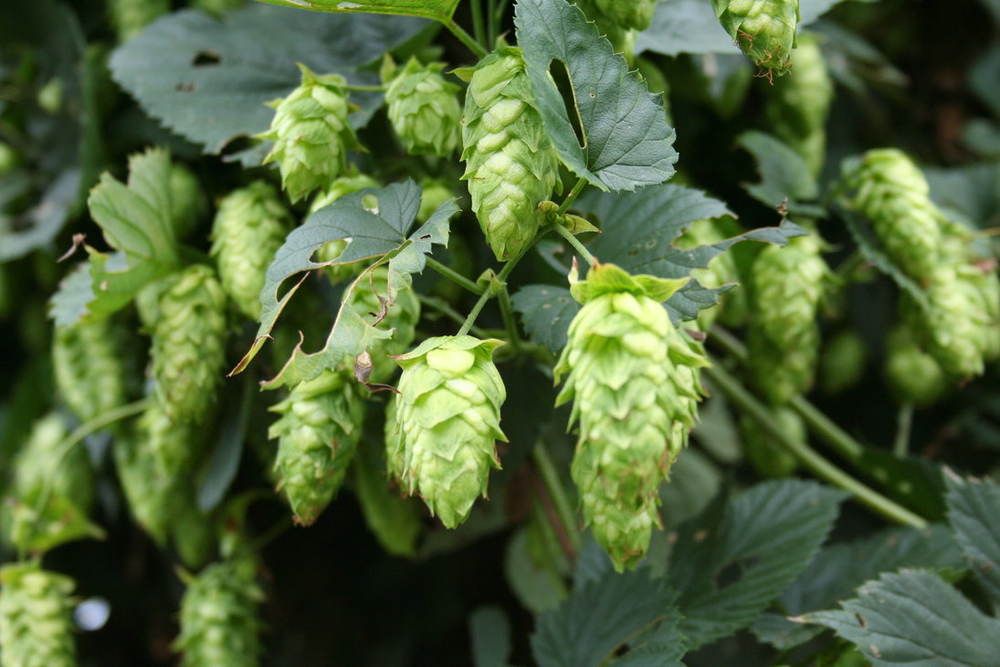 Download Hops Wallpaper Hops By Chartreuseshoes 1095x730 40