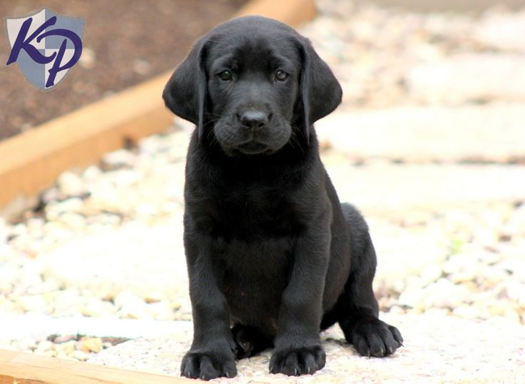 Black Labrador Retriever 4 Wallpaper   DogBreedsWallpaperscom 736x538