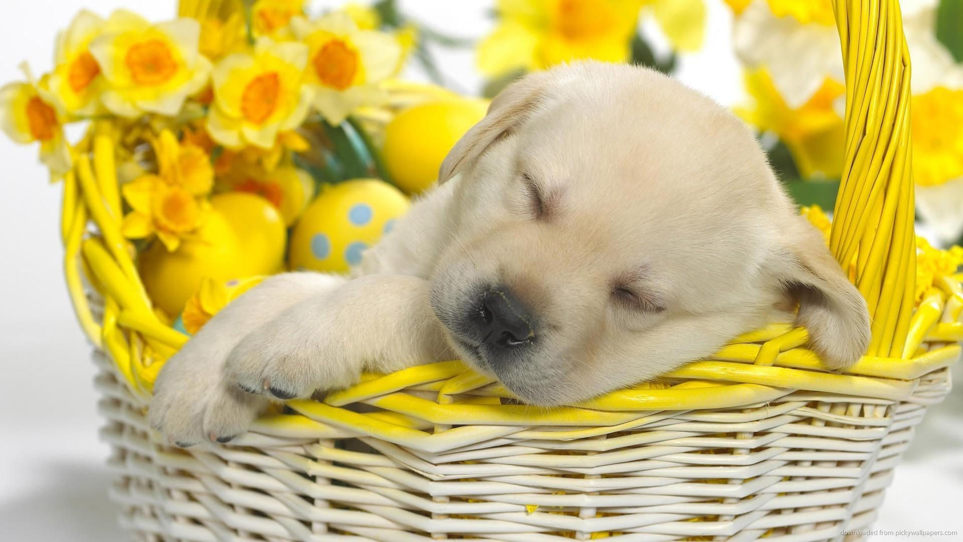 Download 1920x1080 Cute Puppy Sleeping In An Easter Basket Wallpaper 1920x1080