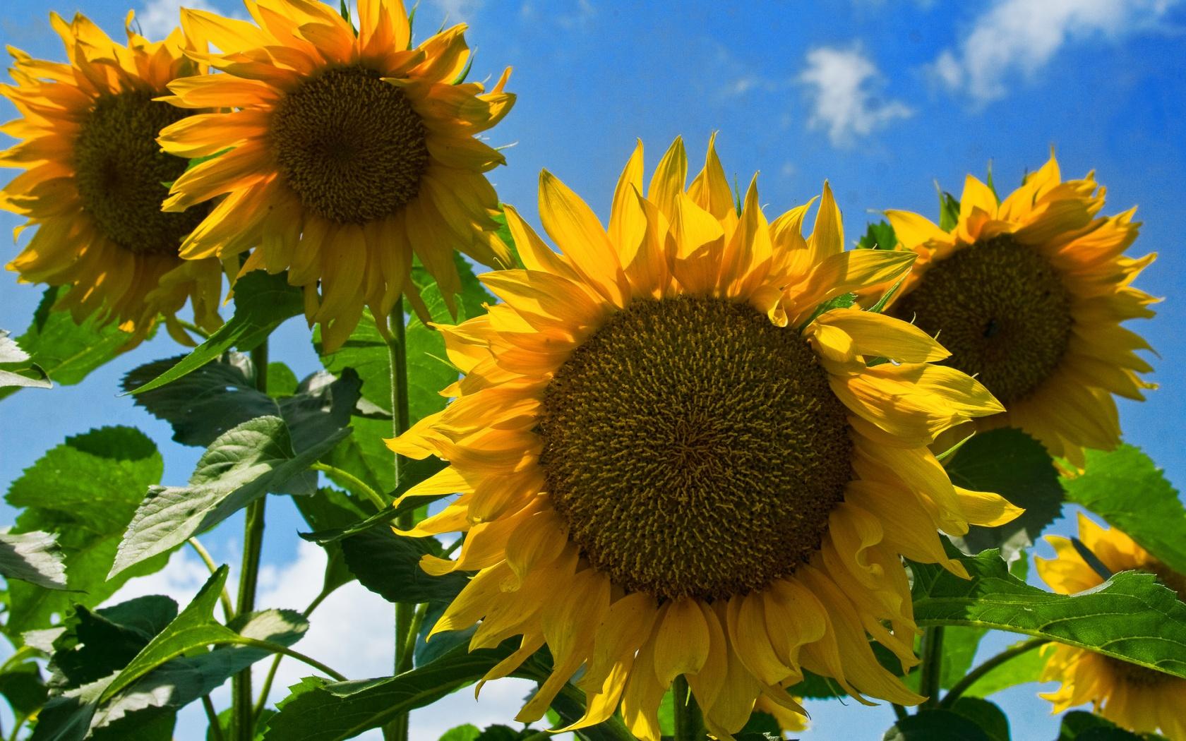 49+ Sunflower Desktop Wallpaper on WallpaperSafari