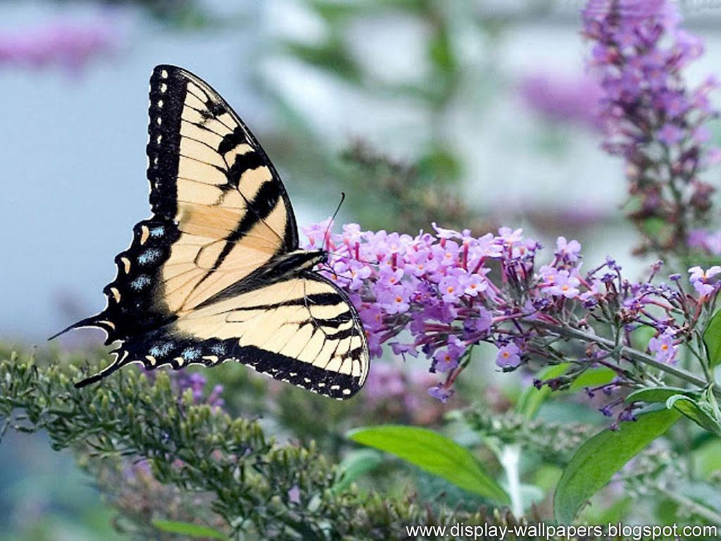 Butterfly Desktop Wallpaper HD 1024x768