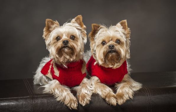 Wallpaper yorkshire terrier dog twins a couple wallpapers dog 596x380