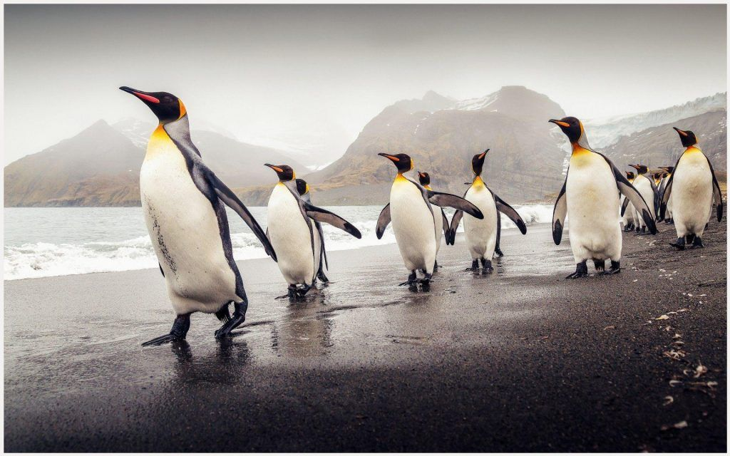 King Penguin Of South Georgia Wallpaper king penguin of south 1024x640