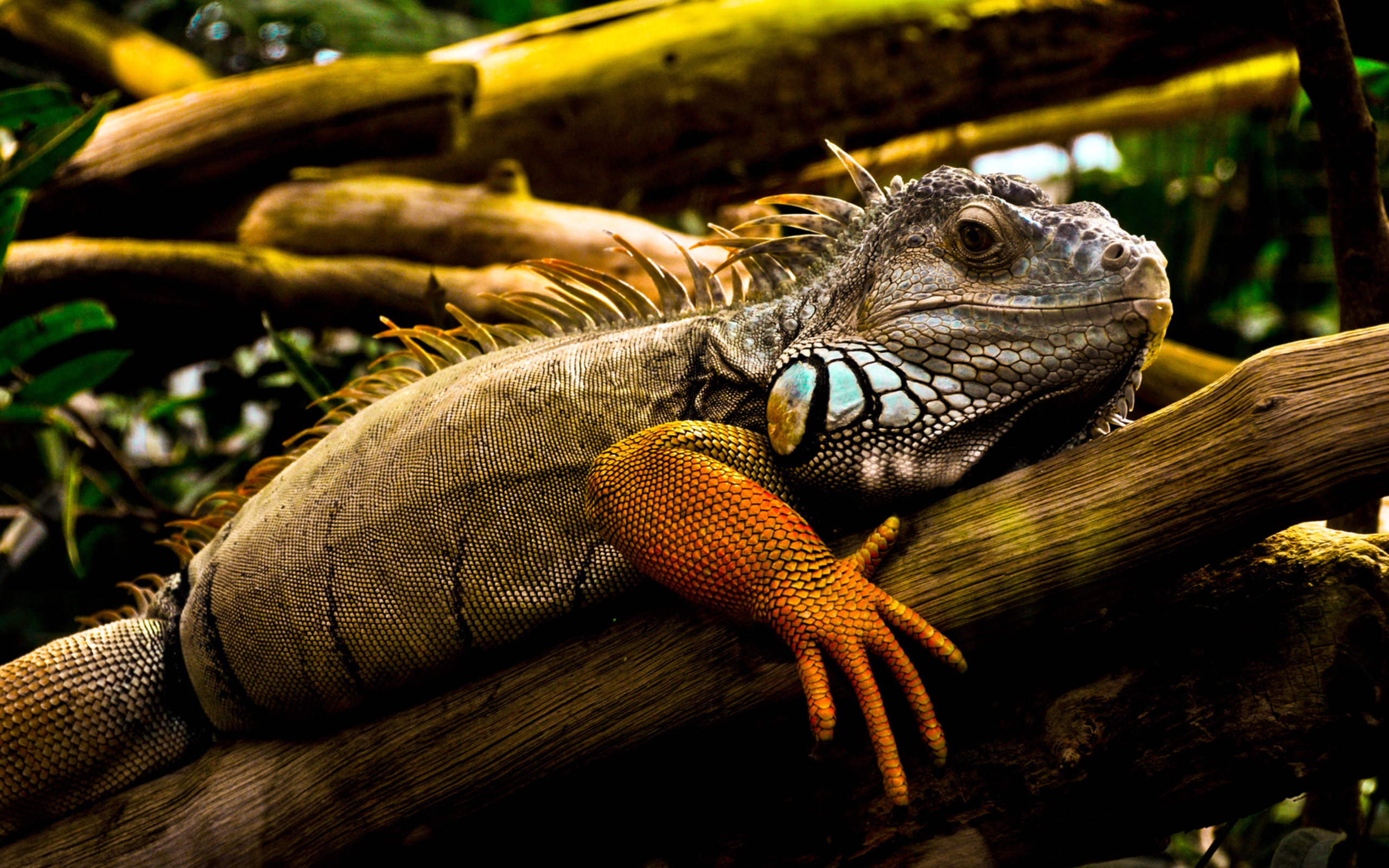 Iguana Wallpapers and Background Images   stmednet 2560x1600