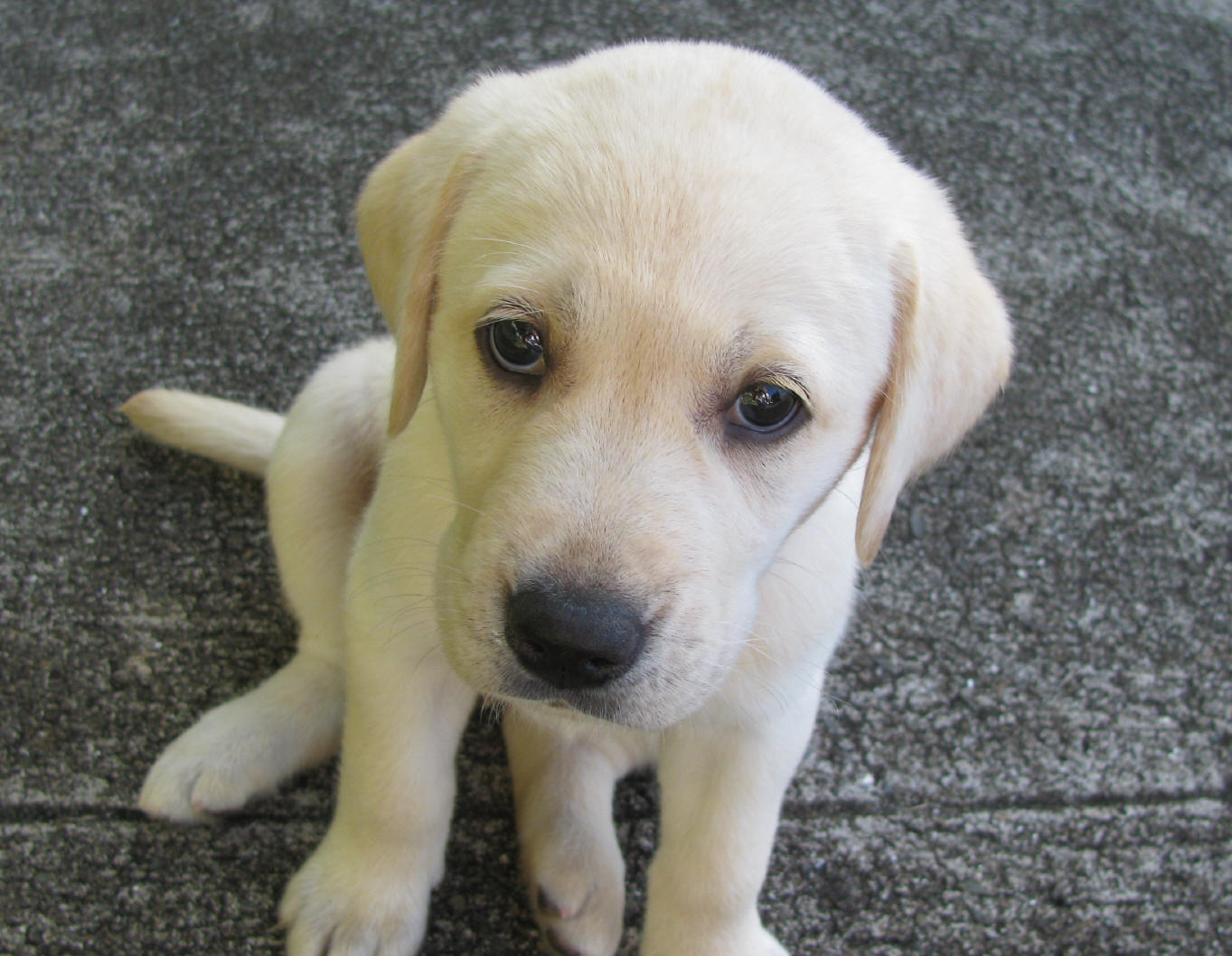 Free download 922026 Yellow Labrador Retriever Puppies 922068 Yellow