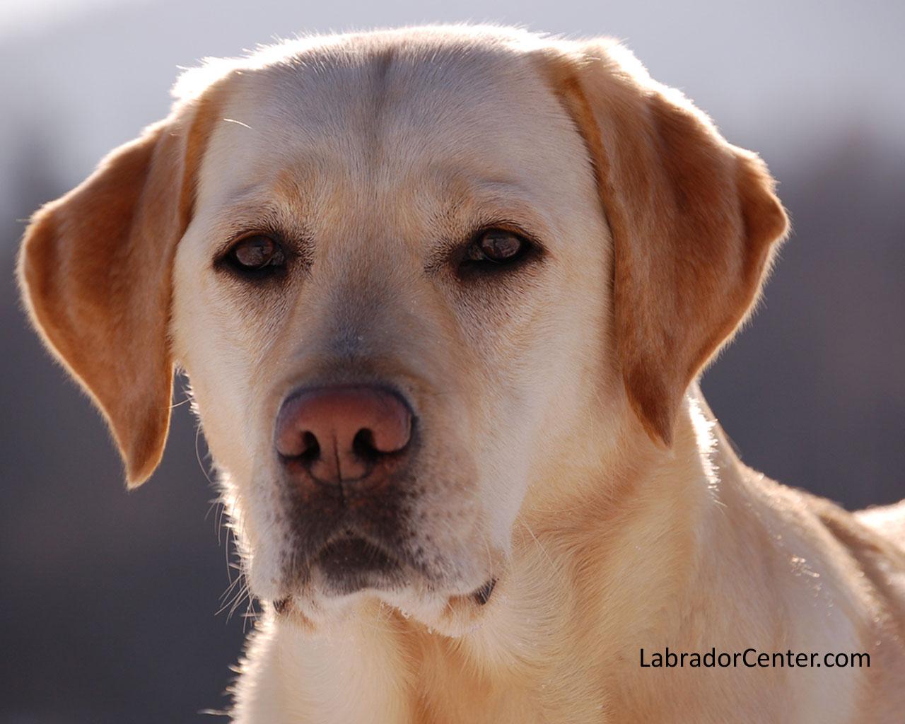 Labrador Center   Labrador Retriever Desktop and Background Images 1280x1024